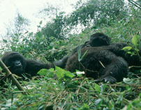 Rwanda Mountain Gorilas