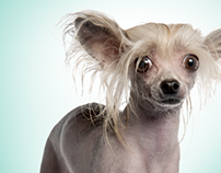 Hair Loss Print Ad for Kennel Club Sponsorship Guide