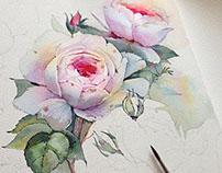 Queen of Sweden rose in watercolor