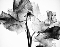 LATHYRUS BLACK & WHITE