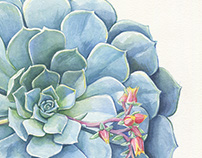 Watercolor Botanical Art - New Echeveria Paintings
