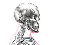 Anatomy studies - Estudos de anatomia