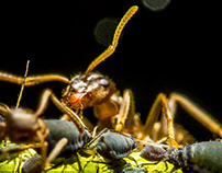 ants milking lices