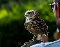 Flint the burrowing owl