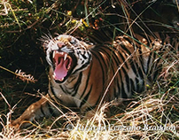 Tracking Tigers in India