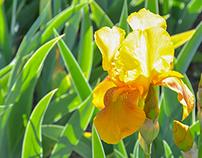 Presby Memorial Iris Garden, Montclair NJ