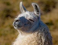 Llama Profiles