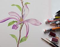 Magnolia Stellata. Botanical watercolor illustration
