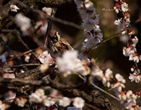 A SPARROW IN THE UME TREE