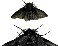 Black Moths
