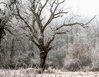 Arbres gelés/ Frozen trees