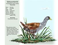 Gallinula melanops