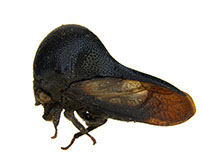 Darth Vader Insects