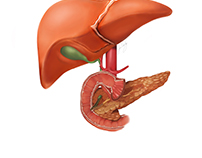 Liver Pancreatic Illustration