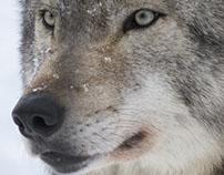 Wolves,Asahiyama,Hokkaido,Japan