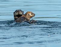 Alaska, Kenai NP Otters-Eagle