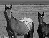 Wild Mustanges