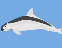 Vaquita - An endangered specie