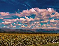Northwest Sunflowers near Rustenburg