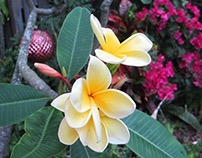 Frangipani Bougainvilla remaining Christmas orniments