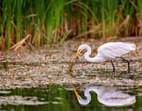 Hunting White Egret
