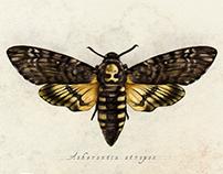 Death's Head Hawk Moths