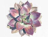 Echeveria - Succulent Watercolor
