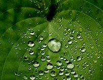 Hosta's in this mornings rain