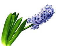 The purple hyacinth