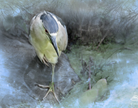 Black-crowned Night Heron, Central Park 7/29/2014
