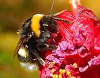 ABEJAS 1 / BEES 1 (BUMBLEBEES AND WORKER BEES)
