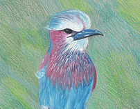 Color Pencil Bird