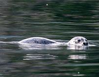 Alaska, Seals and sea lions