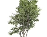 Tree Free 3D Model