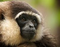 Singing Apes - Radio Gibbon