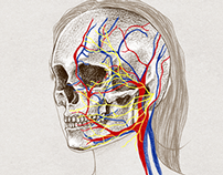 FACIAL ANATOMY - Skull, muscles and veins of the face