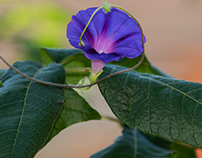 Morning glory flower, unincorporated Will County in my