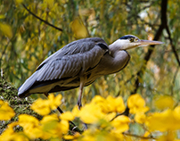 Animals in town, Ardea cinerea