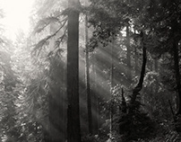 Redwood Forest in B&W