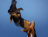 Sea Eagle Collection 14