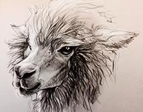 Alpaca Head Study