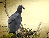 Black Vulture on Gold, Boquete, Panama 5/24/2014