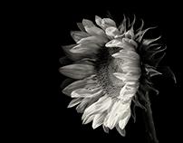 20160821 - Studio Sunflowers