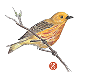 Yellow Warbler Illustration