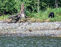 Alaska, Black bears