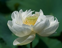 Today's ancient lotus #1