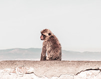 Monkeys of Gibraltar