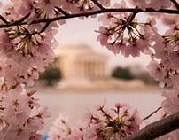 The National Cherry Blossom | Washington DC, 2017