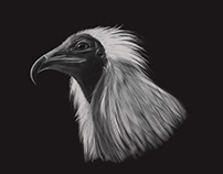 Egyptian vulture drawing with Cintiq 27QHDT
