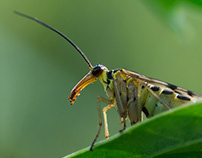 Photo Series: Nature / Case 25: The Scorpionfly